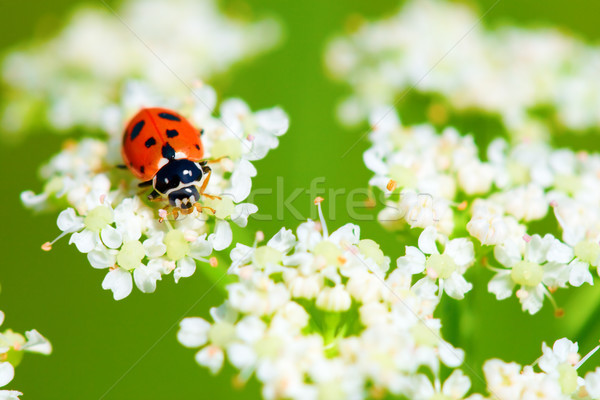 ladybug sitting on the white flowers Stock photo © chesterf