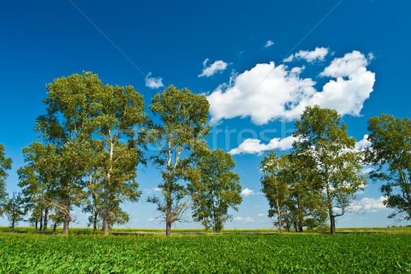 cottonwoods under skies Stock photo © chesterf