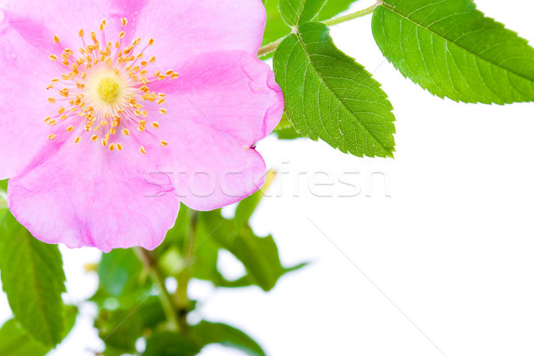dogrose flower with copy space Stock photo © chesterf