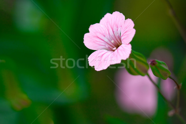 blooming beautiful pink flower Stock photo © chesterf