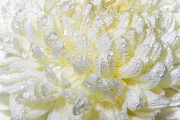 Makro ıslak krizantem tomurcuk kremsi Stok fotoğraf © chesterf