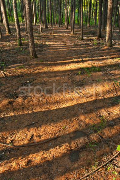 morning forest shadows Stock photo © chesterf