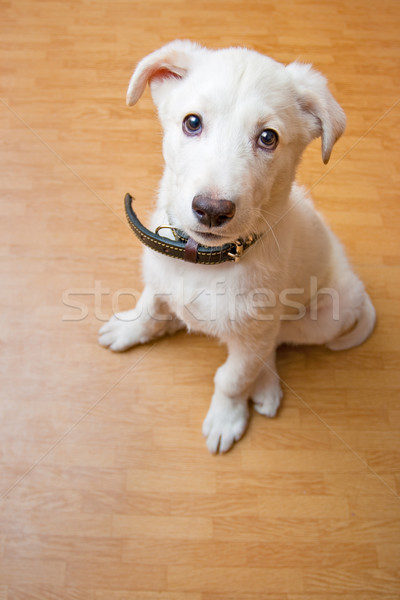 white puppy on the floor Stock photo © chesterf