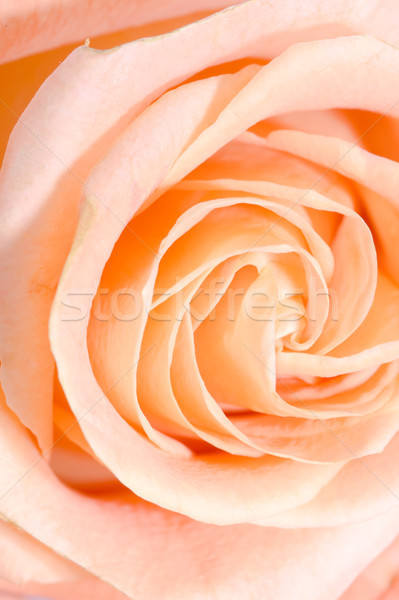 Stock fotó: Közelkép · makró · rózsa · rügy · narancs · esküvő