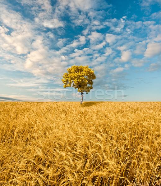 Sozinho carvalho em pé campo de trigo comida fundo Foto stock © chesterf