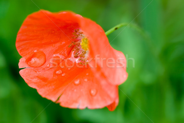 macro of red poppy with rain drops Stock photo © chesterf