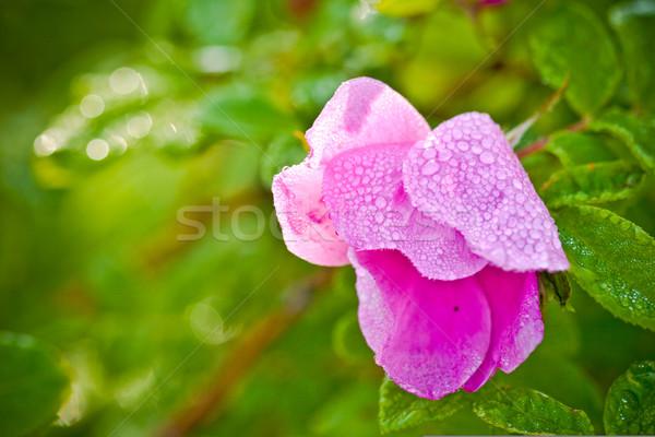 wild dog rose flower Stock photo © chesterf