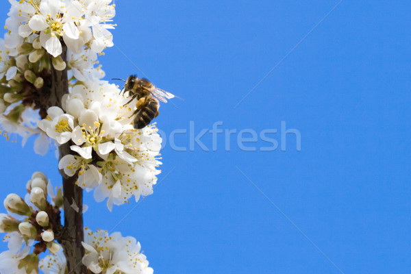 bee sitting on the apple tree Stock photo © chesterf