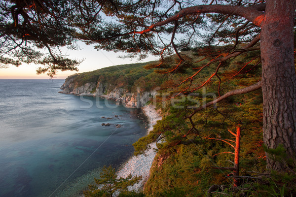 pines on a rock at the sea in the morning light Stock photo © chesterf