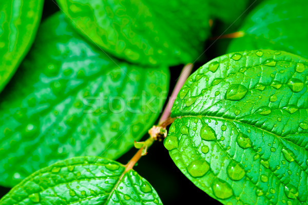 Stock photo: green bright leaves with rain drops nature backgrounds