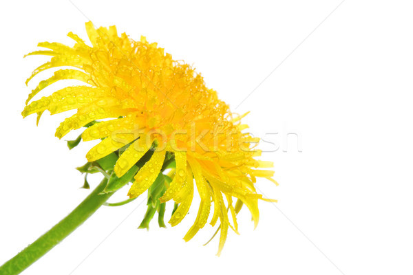wet dandelion flower Stock photo © chesterf