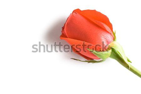Piros rózsa rügy fehér copy space szöveg szépség Stock fotó © chesterf