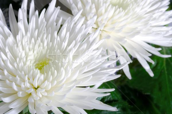 Chrysant twee bloem macro natuur Stockfoto © chesterf