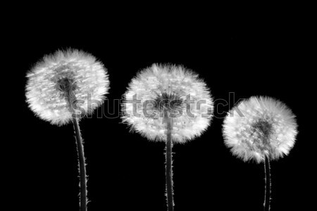 three dandelions on black Stock photo © chesterf