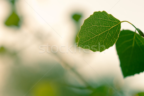two green leaves Stock photo © chesterf