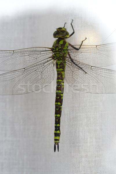 Dragonfly Stock photo © cheyennezj