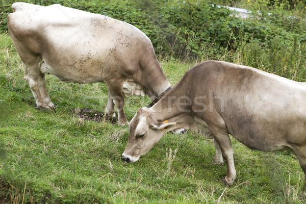 Krowy chmury dziedzinie niebieski gospodarstwa mleka Zdjęcia stock © cheyennezj