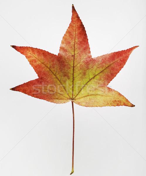 Jesienią liści tekstury charakter roślin biały Zdjęcia stock © cheyennezj