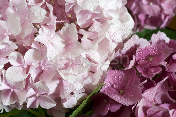 紫色の花 テクスチャ 自然 背景 ストックフォト © cheyennezj