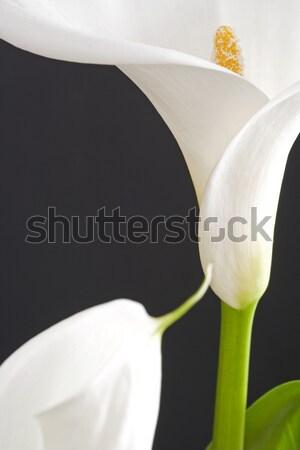 Fehér természet fény sötét liliom ötlet Stock fotó © cheyennezj