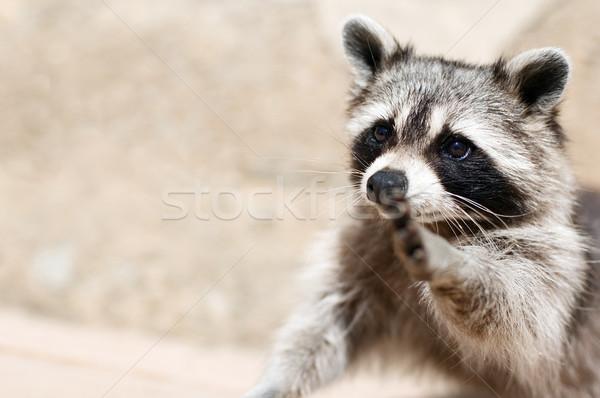 Wasbeer oog gezicht natuur leuk Stockfoto © choreograph