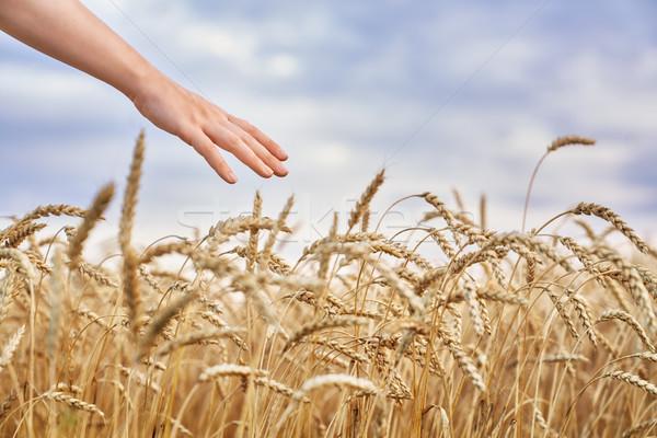 Hand aanraken gouden tarwe landbouwer Stockfoto © choreograph