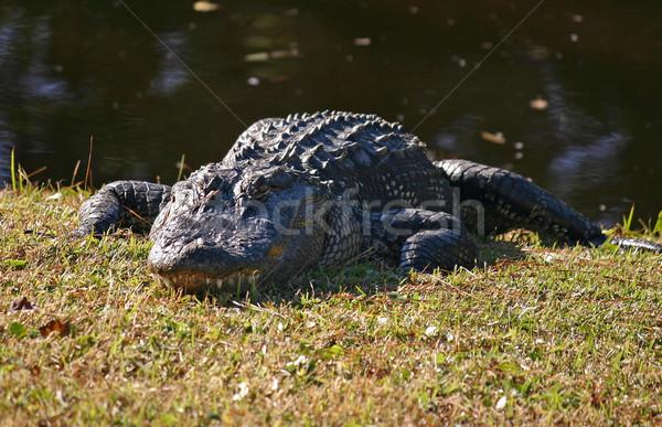 Aligator słońce wody zwierząt niebezpieczeństwo bagno Zdjęcia stock © chrisbradshaw