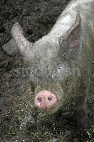 Varken vuile staren dier modder ham Stockfoto © chrisbradshaw