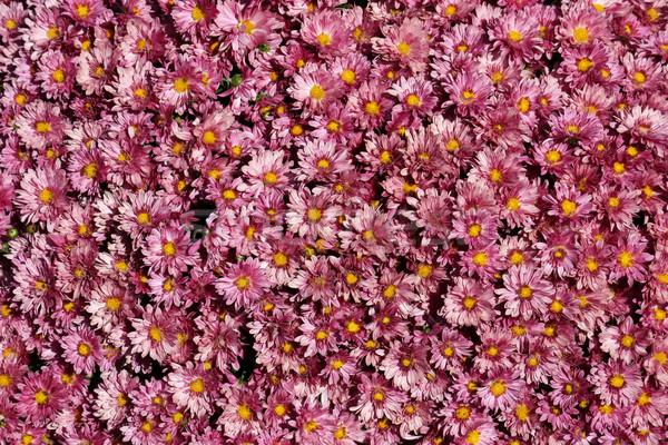 лаванды большой довольно цветок природы Сток-фото © chrisbradshaw