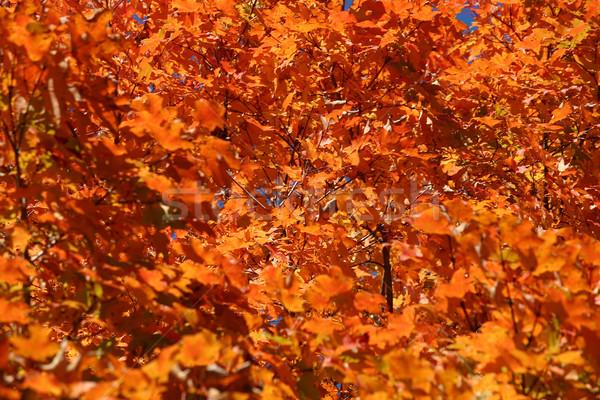 Feuillage dynamique orange automne jour arbre Photo stock © chrisbradshaw