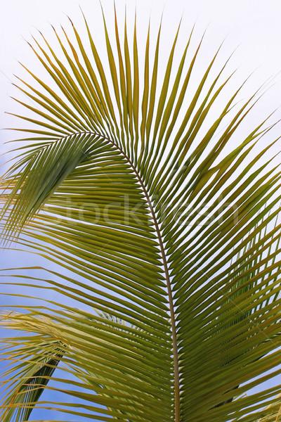 Palm Frond Stock photo © chrisbradshaw