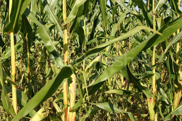 トウモロコシ畑 ニュージャージー州 自然 緑 ストックフォト © chrisbradshaw