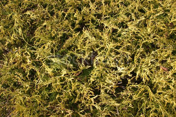 Krzew streszczenie charakter tle zielone Zdjęcia stock © chrisbradshaw