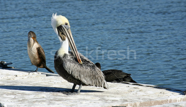 Pelican Stock photo © chrisbradshaw