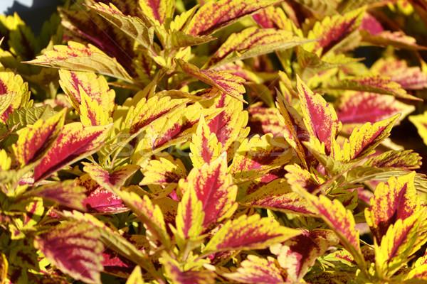 Coleus Plant Stock photo © chrisbradshaw