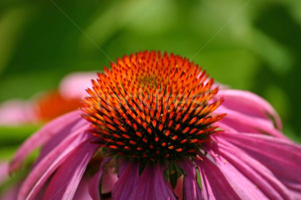 цветок цвести красоту завода красивой Сток-фото © chrisbradshaw