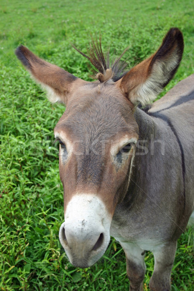 Mule Stock photo © chrisbradshaw