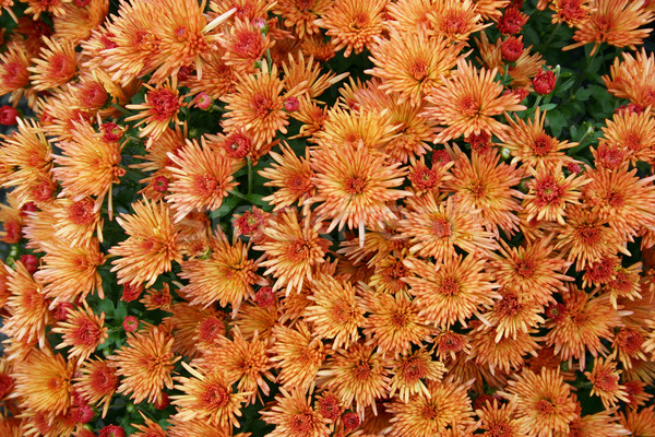 Orange belle fleurs automne Photo stock © chrisbradshaw