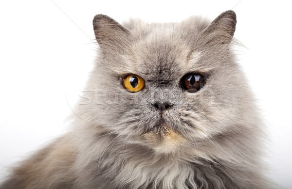 Grey Persian Cat Stock photo © chrisdorney