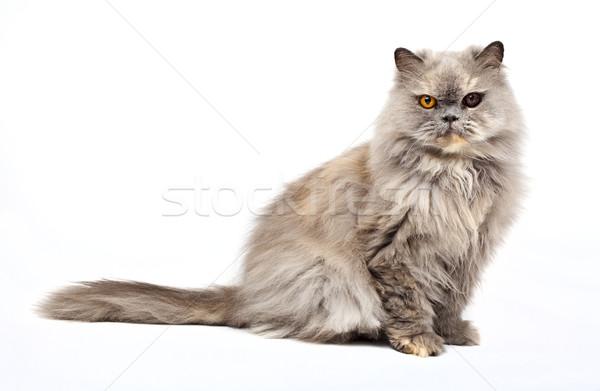Perzische kat witte ogen kopen huisdieren huisdier Stockfoto © chrisdorney
