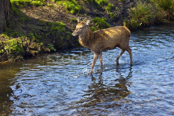 Richmond Park Deer Stock photo © chrisdorney
