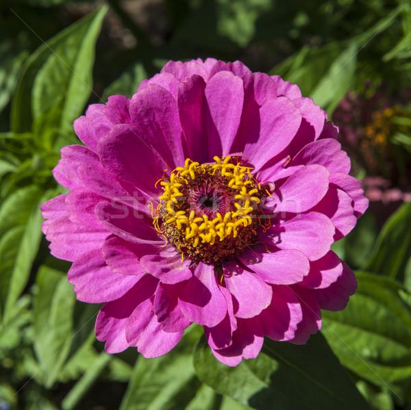 Zinnia Flower Stock photo © chrisdorney