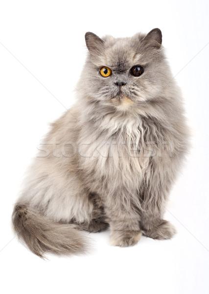 персидская кошка белый глазах купить домашние ПЭТ Сток-фото © chrisdorney