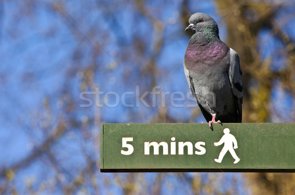Pigeon on a Pedestrian Signpost in London Stock photo © chrisdorney