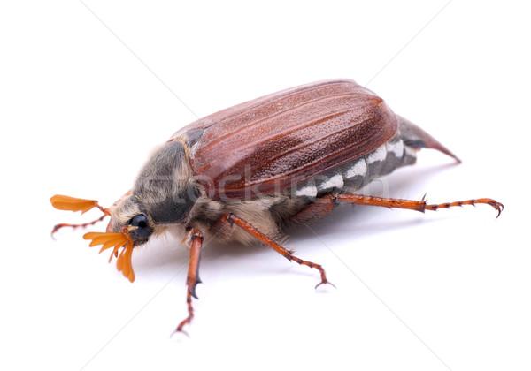 Bogár fehér föld tavasz rovar Stock fotó © ChrisJung