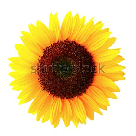 Photo stock: Tournesol · blanche · sol