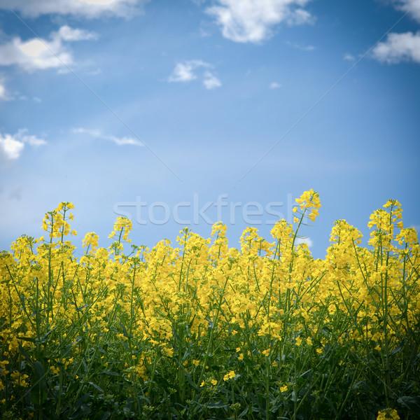 Colza field Stock photo © ChrisJung