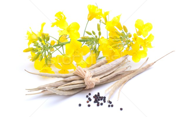 Colza seed and blossom Stock photo © ChrisJung