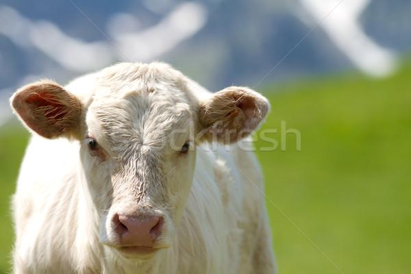 calf in a prairie Stock photo © chrisroll