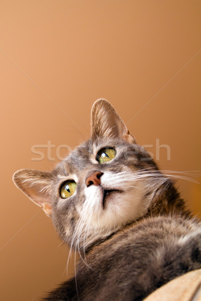 a cat with yellow eyes Stock photo © chrisroll